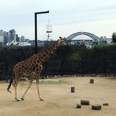 Giraffe w/ a view